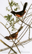Rufuos-Sided Towhee by John James Audubon