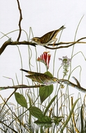 Savannah Sparrow by John James Audubon