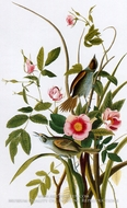 Seaside Sparrow by John James Audubon