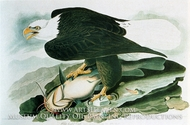 The Bald-Headed Eagle from Birds of America by John James Audubon