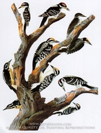 Three-Toed Woodpecker and Hairy Woodpecker by John James Audubon
