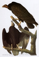Turkey Vulture by John James Audubon