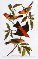 Western Tanager and Scarlet Tanager by John James Audubon