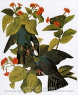 White-Crowned Pigeon by John James Audubon