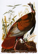 Wild Turkey by John James Audubon