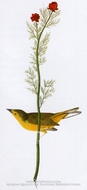 Wood Warbler by John James Audubon