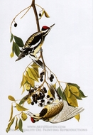 Yellow-Bellied Sapsucker by John James Audubon