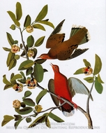 Zeneida Dove by John James Audubon