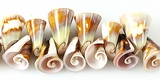 Lisway shell trumpet