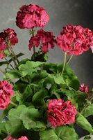 Hanging Geranium Beauty Red Artificial 38""