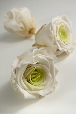 Preserved Roses 2.5in White & Chartreuse Green 6pc