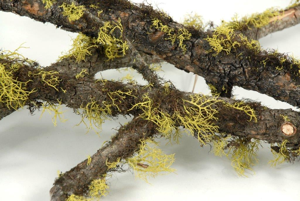 Natural Moss & Wolf Lichen Covered Branch 25-29in