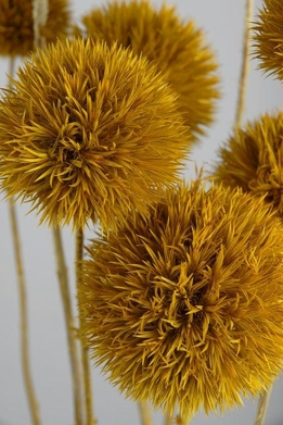 Aspen Yellow Preserved Thistles10pc