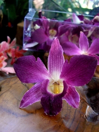 Preserved Orchids Tyrian Purple (30 flowers)