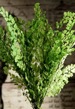 "Adiantum Luthi Ferns 8"" Lime Green Preserved (8 stems)"