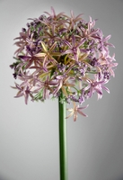 "Allium Flowers Lavender 31"" tall"