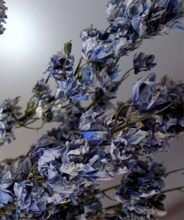 Blue Larkspur Flowers Air Dried
