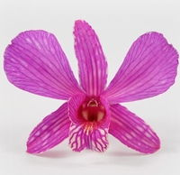 Bright Pink Orchids Preserved Flowers (30 flowers)