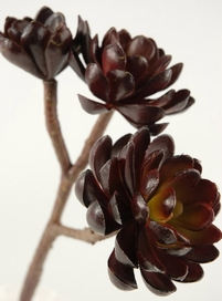 Burgundy Hen & Chicks 10 in. Natural Touch Succulents