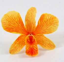 Butterscotch Orange Orchids Natural Preserved Flowers (30 flowers)