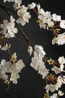 Cherry Blossom Branches Artificial 42in
