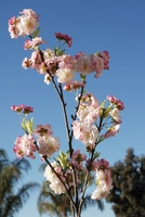 Cherry Blossom Branches 45 in. Artificial