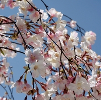 Silk Cherry Blossoms
