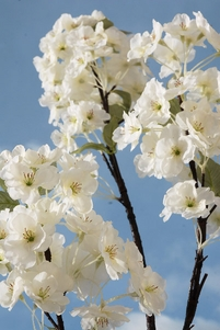 "Cherry Blossom Branches White Flowers 63"" Tall Artificial"
