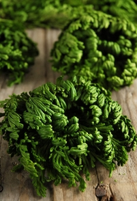Conifer Moss Soft Preserved Iwahiba 60 grams/ 2 ounces