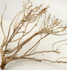 "Coral Bush Natural Branches 16-17"" tall"