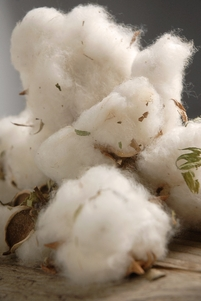 Natural Cotton Bolls | 12 Bolls