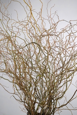 Curly Willow and Birch