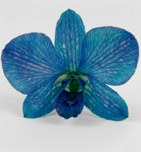 Dark Blue Orchids Preserved Flowers (30 flowers)