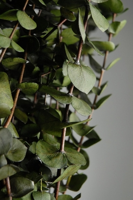 Eucalyptus Branches Preserved Green (10-12 branches/ bundle)