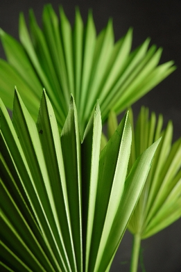 Fan Palm Leaves Green (5 leaves)