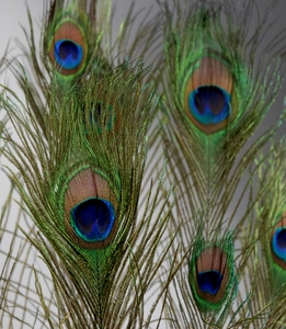 "Feathers 30-40"" Peacock Feathers (10 feathers/bundle)"