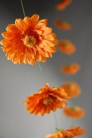Gerbera Daisy Garlands (18 flowers) 6 ft Orange