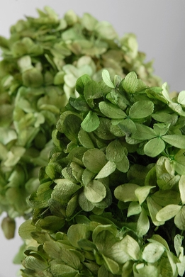 Green Hydrangeas Preserved (3 stems/bunch)