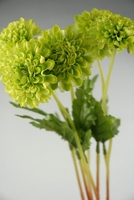 Green Silk Mums (6 flowers bunch )