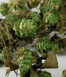 "Hops Garland Preserved Air Dried Natural 18"" long"