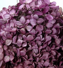 Hydrangeas Purple Preserved (4-5 stems)