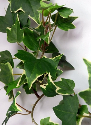 Ivy and Boxwood