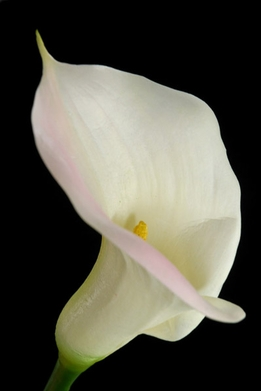 Large Real Touch White with Pink Blush Calla Lily Flowers