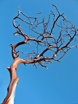 Manzanita Branches  | Red Bark 16-18in