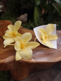 Morning Yellow Orchids Preserved Natural (8 flowers)