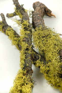 "Moss and Wolf Lichen Branches 17""-19"" long"