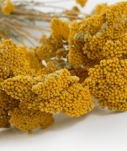 Mustard Yellow Preserved Yarrow Air Dried ( 12 stems )