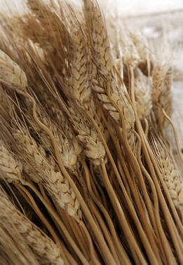 Natural Dried Triticum Wheat Stalks 1lb