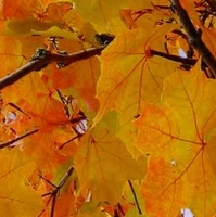 Natural preserved fall leaves