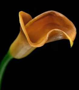 Natural Touch Calla Lilies Caramel Flowers